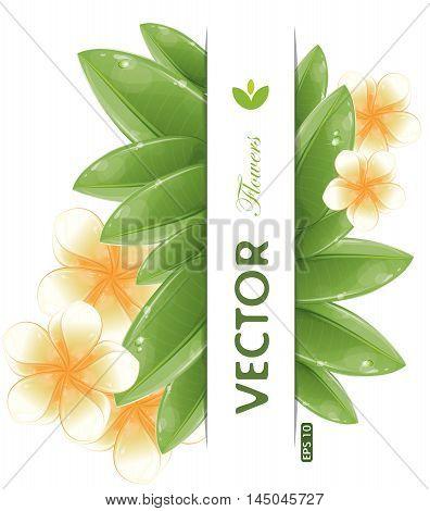 White frangipani flowers isolated on white, vector illustration, eps-10