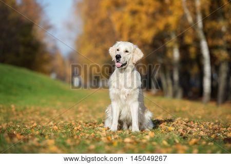 adorable golden retriever dog posing outdoors in autumn