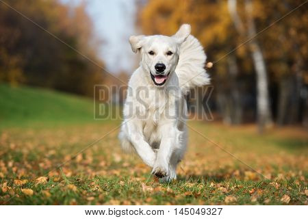 happy golden retriever dog running outdoors in autumn