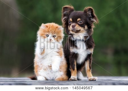 adorable fluffy kitten and a chihuahua dog posing together