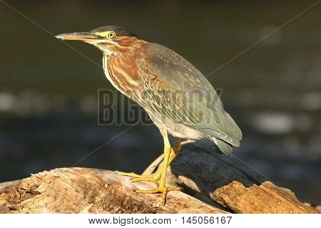 Green Heron (Butorides virescens) on a log in a river