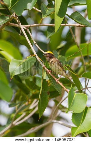 Streaked Weaver (Ploceus manyar) resting on a branch in forest poster