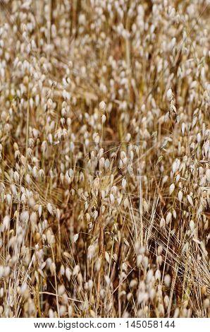 Field of oats. Deep of field photo.