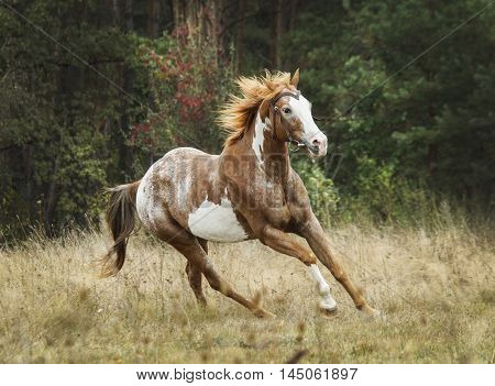 brown horse with large white spots and a red mane on a background of green forest