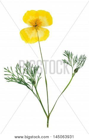 Pressed and dried delicate yellow flowers eschscholzia (eschscholzia Californica California poppy). Isolated on white background. For use in scrapbooking floristry (oshibana) or herbarium.
