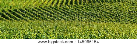 Vineyard Relief Agriculture Landscape Panorama View