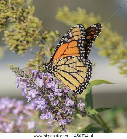 A Monarch Butterfly (Danaus plexippus) feeding on nectar from a butterfly bush.