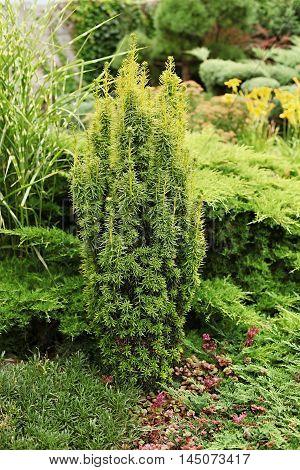 David yew - a fragment of garden landscape.