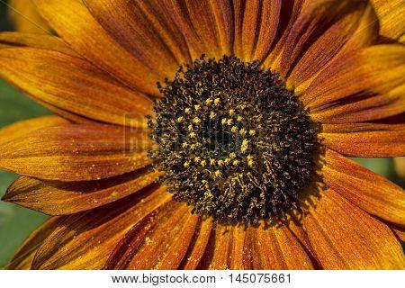 Sunflower Flower Garden Autumn Nature Blossom Impression