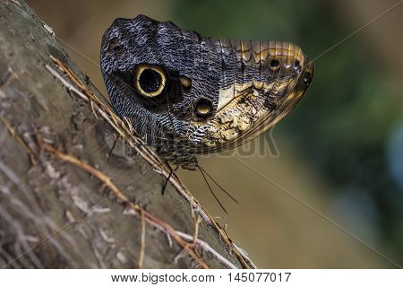 Tropical Butterfly Caligo Owl Wildlife Impression Exotic