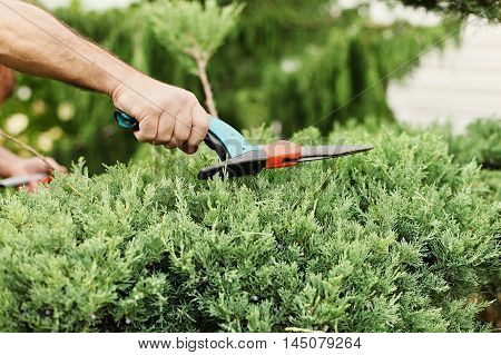 Cutting juniper. Someone trimming bushes with garden scissors. Close-up view.