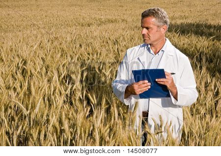 Mature satisfied technician looking at ripe wheat's field during a quality control before the harvest