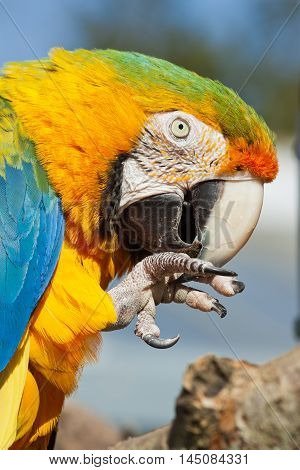 Parrot feeding with food in its claw