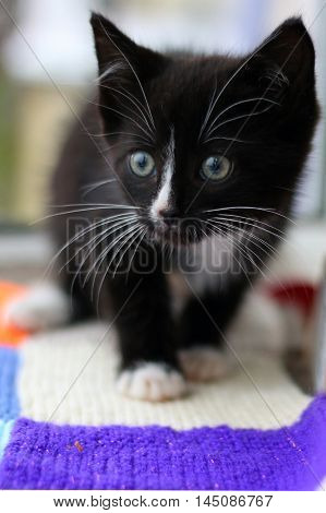 A black & white kitten on a knitted blanket poster