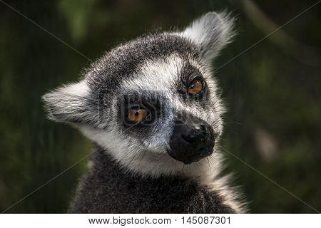 Ring Tailed Lemur Animal Portrait Wildlife Zoo