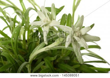 edelweiss flowers isolated on a white background