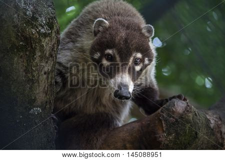 Nasua Raccoon Animal Looking Zoo Wildlife Portrait