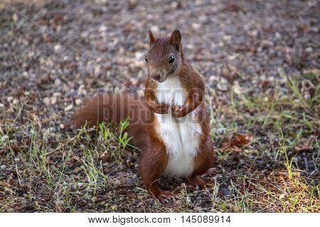 Red Squirrel Sciuridae Wood Wildlife Looking Impression