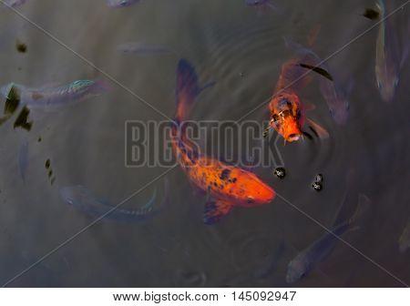 Two beautiful koi fish swimming in pond