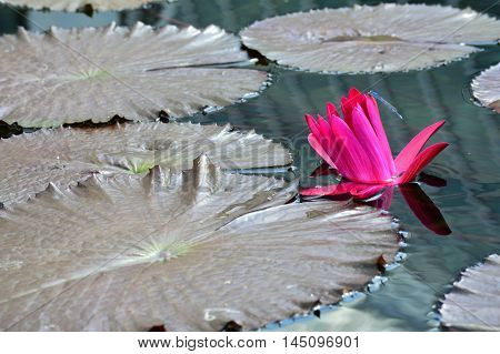 A blue damselfly on a pink water lily