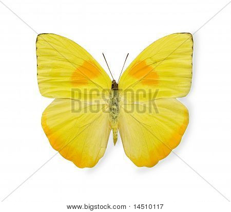Yellow butterfly over the white background