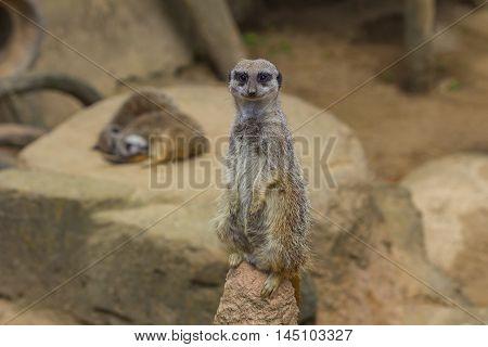 Meerkat Suricata Mongoose Cute Animal Looking Wildlife