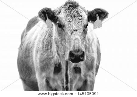 High key black and white image of a cow