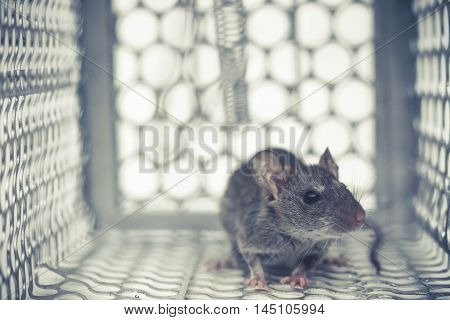 a tiny mouse in a metal trap