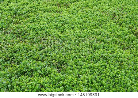 Water hyacinth blocking the river top view