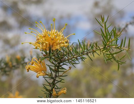 Australian golden orange wildflower Grevillea juniperine molonglo in flower bloom in winter and spring