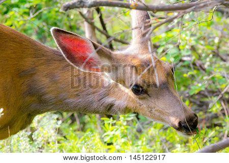 Closeup of mule deer doe looking at the camera while eating