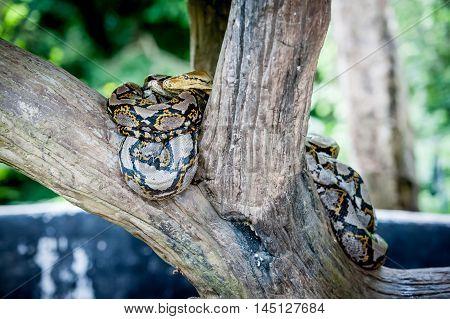 Tiger Python (python molurus bivittatus) in a zoo