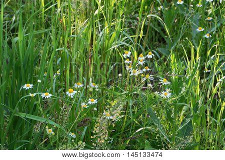 scene sunlight and bright wild field camomile