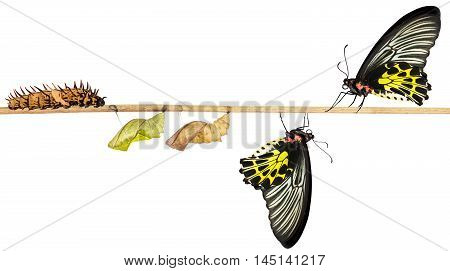 Isoalted Life Cycle Of Female Common Birdwing Butterfly
