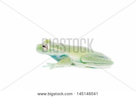 Alytolyla treefrog, Hyloscirtus alytolylax, isolated on white background