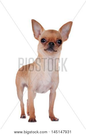 Chihuahua, 7 month old, isolated on the white background