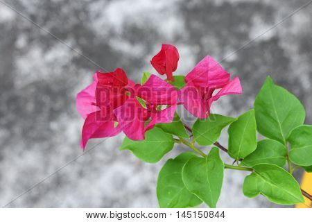 Bougainvillea flower purple, glabra Choisy beautiful natural in garden ( glabra Choisy)