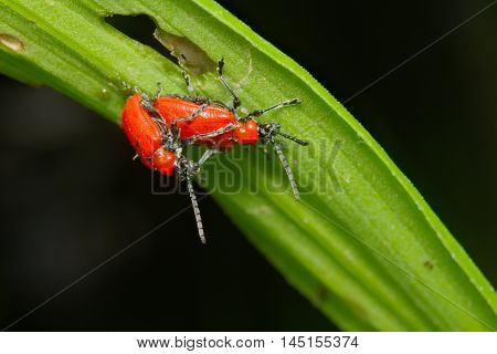 Red bugs (Coleoptera) coupling on a leaf