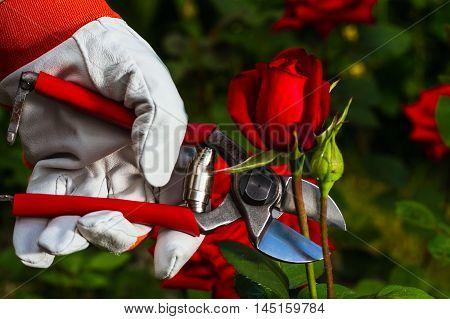 Gardener's Hand Cutting Off A Rose.