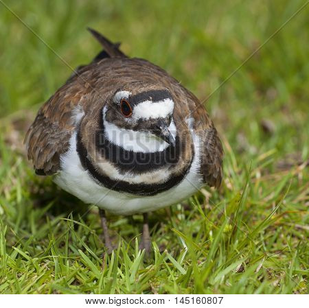 Killdeer keeping an eye on the photographer because a nest is nearby