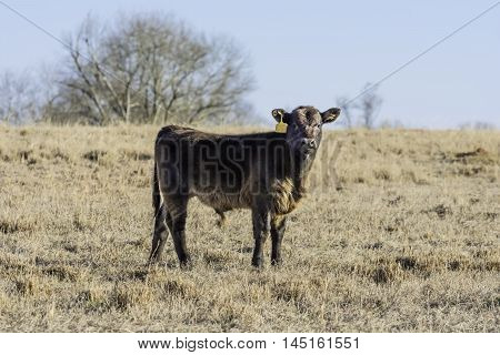 Brown calf in center of frame in dormant bermuda grass pasture