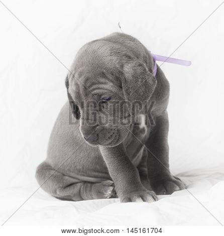 Purebred blue Great Dane puppy on white playing coy