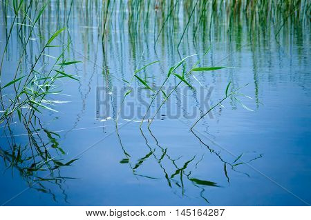 Nature background with coastal reed and its wavy reflection in quiet lake water