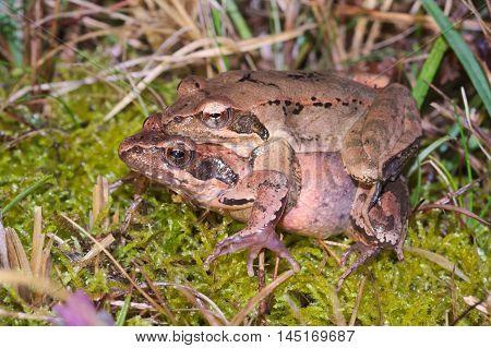 Couple of Italian agile frogs (Rana latastei) moving from the breeding pond, Friuli, Italy
