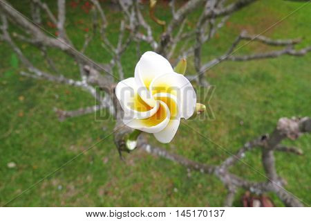 White and yellow tropical frangipani flower petals unfurling