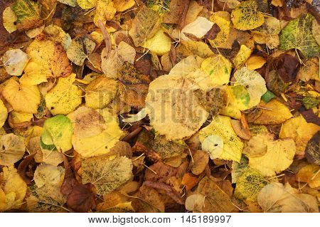 Autumn background - bright yellowed leaves that had fallen from the trees