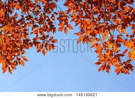 Colorful and bright autumn leaves and blue sky background. Fall golden leaves and clear blue sky background perfect for cards and quote