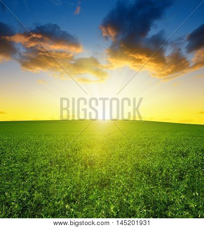 Green pea field in the sunset sky.