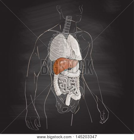 vector illustration human body anatomy liver medical internal organs system chalk drawing on the blackboard