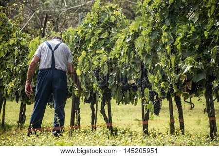 Chianti region Red Wine before harvest in Italy